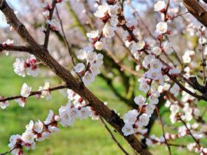 fiori albicocche